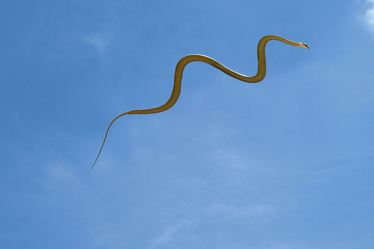 Mystery of how flying snakes move is solved by scientists