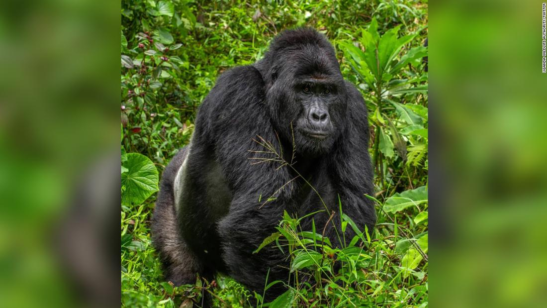 Rafiki: Killer of rare silverback gorilla jailed for 11 years