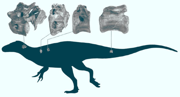 Silhouette of Vectaerovenator inopinatus indicating where the bones are from. Image credit: Darren Naish.
