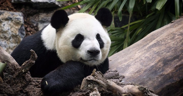 Welfare of giant pandas stuck at Calgary Zoo 'in jeopardy' amid dwindling bamboo supply