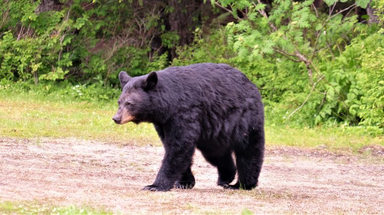 WildSafeBC says managing fruit trees, trash will help bear-proof your home