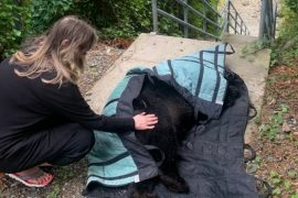 Euthanized black bear upsets residents in a North Shore neighbourhood of Metro Vancouver