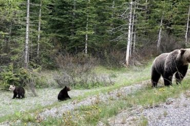 36-year old man in hospital after grizzly bear attack near Pemberton, B.C. - BC