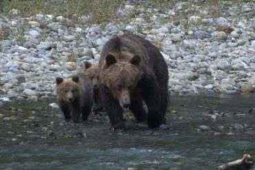 36-year-old hunter recovering after being bitten by a grizzly near Pemberton, B.C.