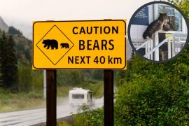 Bear wants to cross the border from Canada, but is not allowed