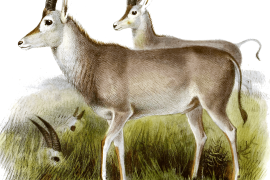 Blabok: Extinct antelope are also rare in museums