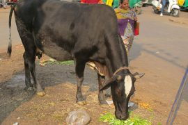 India invites you to take the exam in cow science
