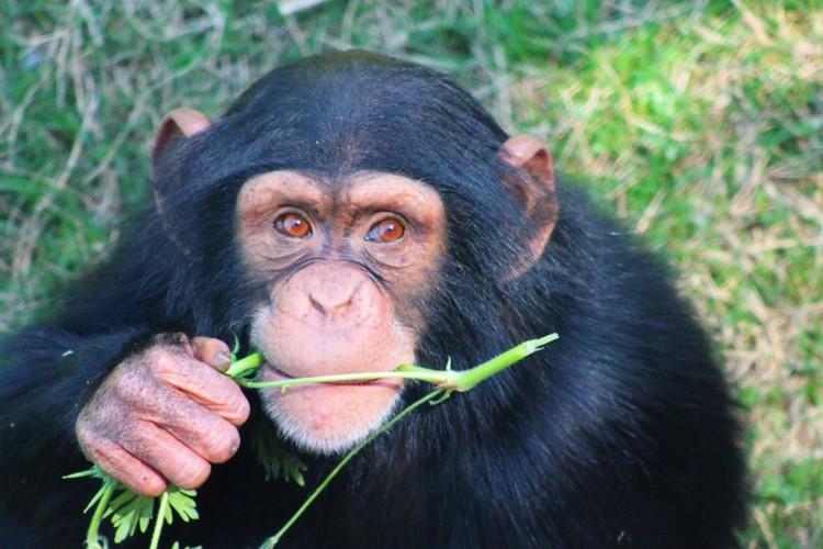 Harmless mutations found in HIV in monkeys