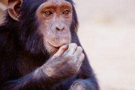 HIV-Ursprung von Affen auf Menschen im ersten Weltkrieg übertragen