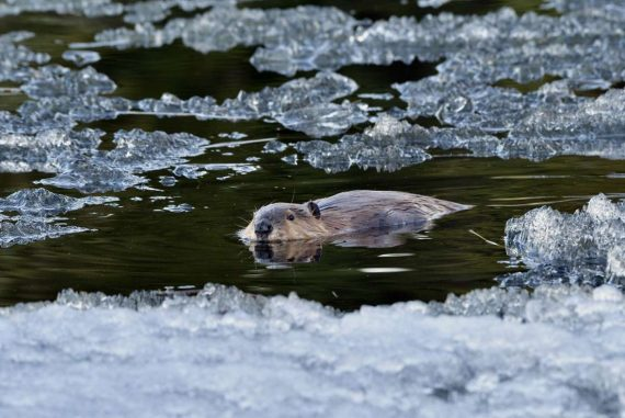 Winter in Canada: Beaver makes its way through snow - Panorama