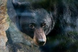 Bad luck in Canada: Bear killed woman and her father