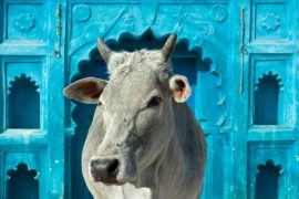 Examination in cow science postponed after controversy