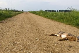 Hunting with results: rabbit plague in Dessau-Roalau region - three people fell ill