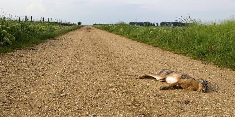 Hunting with results: rabbit plague in Dessau-Roalau region - three people fell ill
