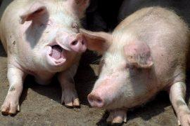 Pigs can play computer games - DER SPIEGEL