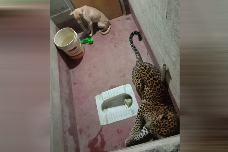 The dog is kept in the room for hours with the leopard: then it becomes dramatic!