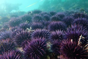Sea urchins feed on a species-rich ecosystem