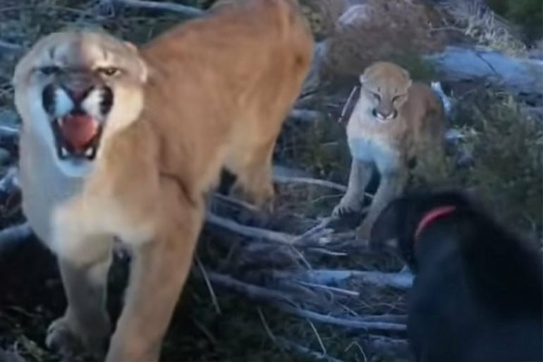 A man meets a puma: what his dog does again, fascinates thousands.