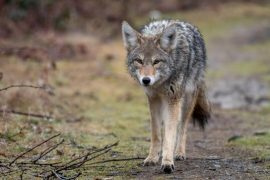 Wildlife Issues in Canada: Coyotes Attack Joggers and Cyclists - Society