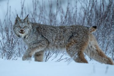 3,500 km on rivers and mountains: the lynx hike is a mystery