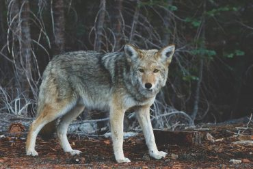 Canada - Vancouver strollers are no longer protected from aggressive coyotes