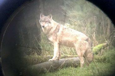 District of Uelzen: Wolf Shooting - Hunter kills animal in Ebstorf area