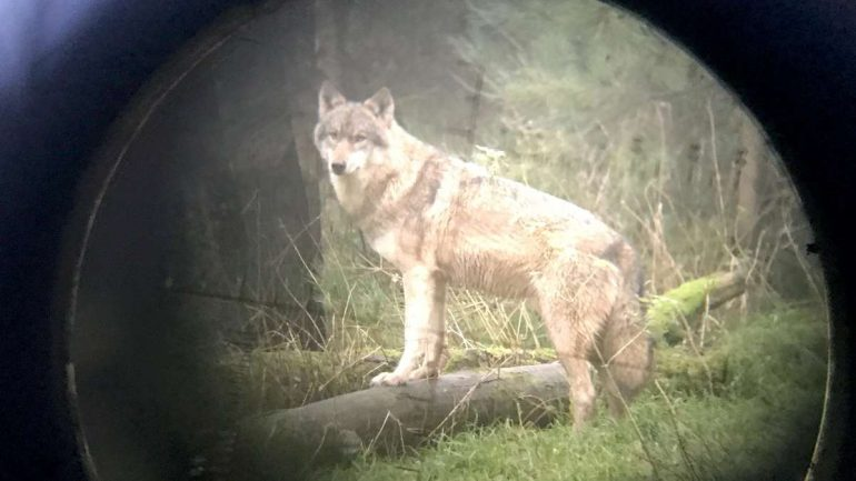 District of Uelzen: Wolf Shooting - Hunter kills animal in Ebstorf area