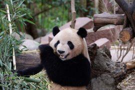 Seriously injured: Panda attacks keepers at zoo
