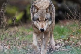 Seven stages of growth: Scientists warn: wolves kill people