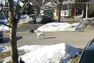 The dog stops the car to save the owner's life