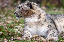 WWF counts about 1000 snow leopards in Mongolia