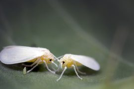 Whitefle: With Jean Steal for Super Pest