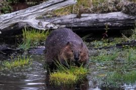 Beavers made cripple the Internet in Canada