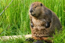 Beavers paralyzed the Internet in Canada