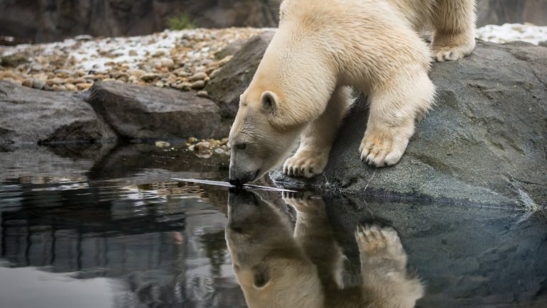 Climate change brings food shortages: polar bears are bad egg thieves