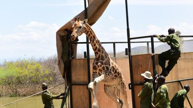 Science: Giraffe trick: with the ark to the mainland