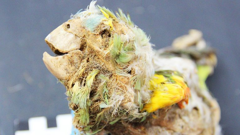 Science: Mummy Parrots Reveal the Dark Side of Our History (Video)