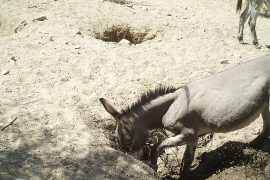 Wildlife: When the donkey digs for water