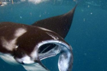 New analysis: Which plastics have manta rays?  - Science