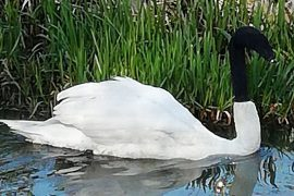 England: Cruelty to animals!  Swan with sock on his head found and saved - news abroad