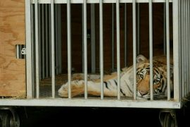 Houston (USA): Police Finds Missing Tiger After One Week Search - News Abroad