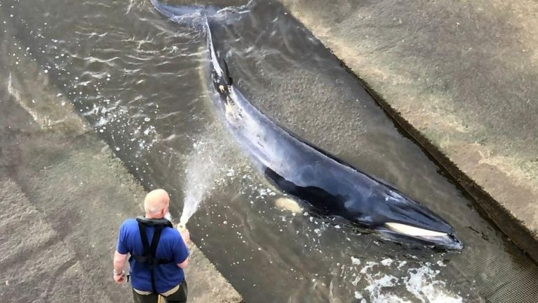 Stray whales were put to sleep in the Thames