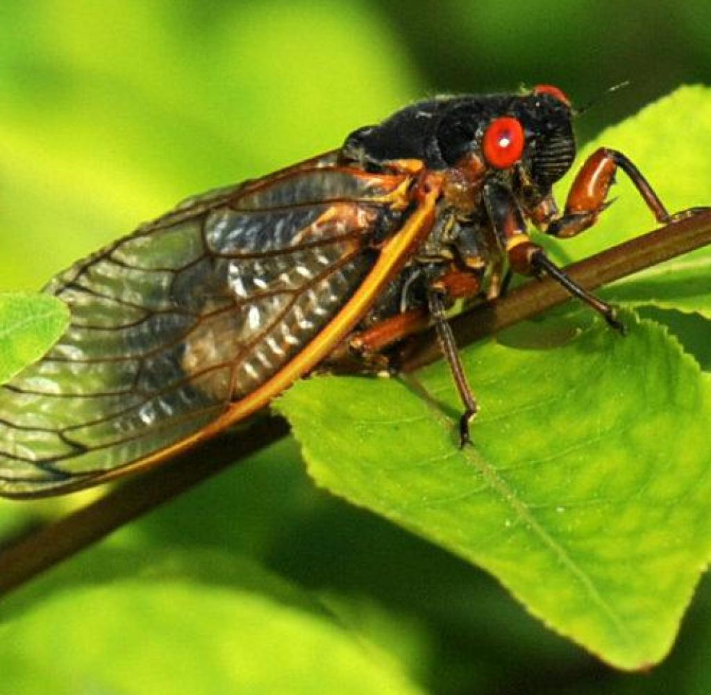 After several days of hot weather, cicadas are making their presence felt in New York City.  Millions of these insects come out every 17 years to mate and breed, only then another cycle begins.  Billions of cicadas are expected to emerge up and down the east coast of the US this summer.  Photo by Dennis Van Tyne / ABACAUSA.COM Photo