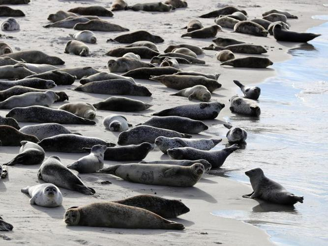 Good weather conditions: Seal count begins in Wadden Sea