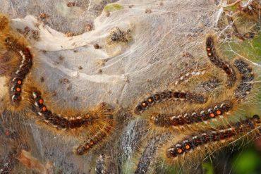 Heilbronn: Beware - This Caterpillar Threatens Violent Reactions