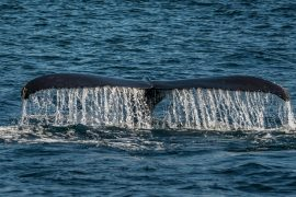 Man Allegedly Swallowed by Humpback Whale - He Survived