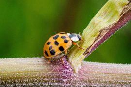 Science - Asian ladybug knocks stone bumblebee off its throne - Knowledge
