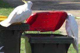Cockatoos learn from each other to open dustbins.  free Press