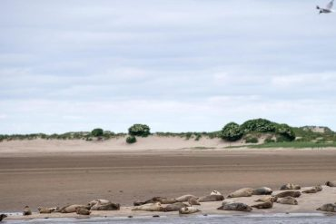 More gray seals numbered in the Wadden Sea.  free Press