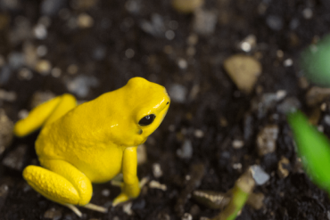 Natural Poisons: A Protein Sponge Against Poison Dart Frog Poisoning
